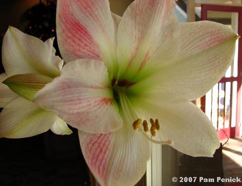 Amaryllis in bloom digging for Amaryllis bulbe conservation