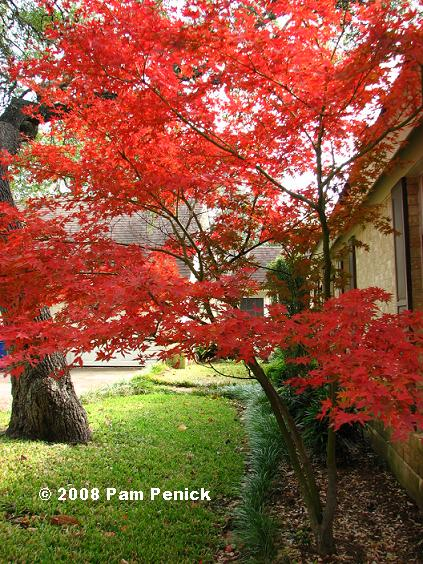 Japanese Maple On Fire Digging