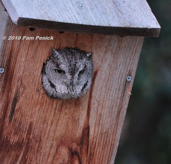 screech owl in the house! | diggingdigging