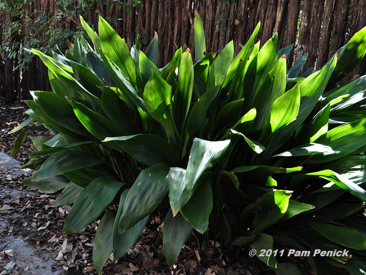 Cast Iron Plants : Prune cast iron plant to bring back evergreen beauty digging