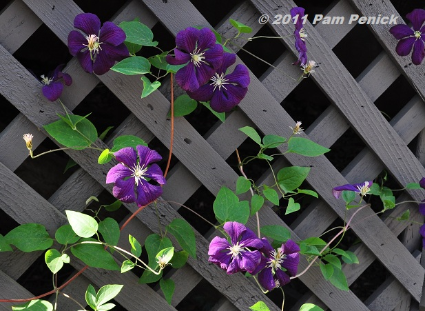 plant this 39 etoile violette 39 clematis digging. Black Bedroom Furniture Sets. Home Design Ideas