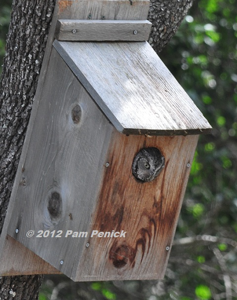 Yay Screech Owl Is In Our Nesting Box Digging