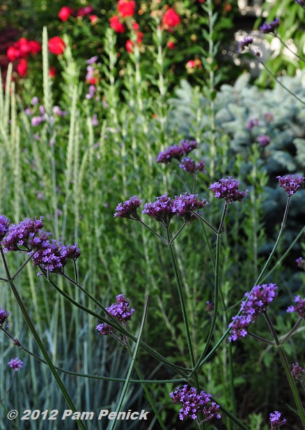 With Cers Of Purple Flowers Held Aloft On Airy Stems Verbena Bonariensis Makes Everything Around It Look Prettier