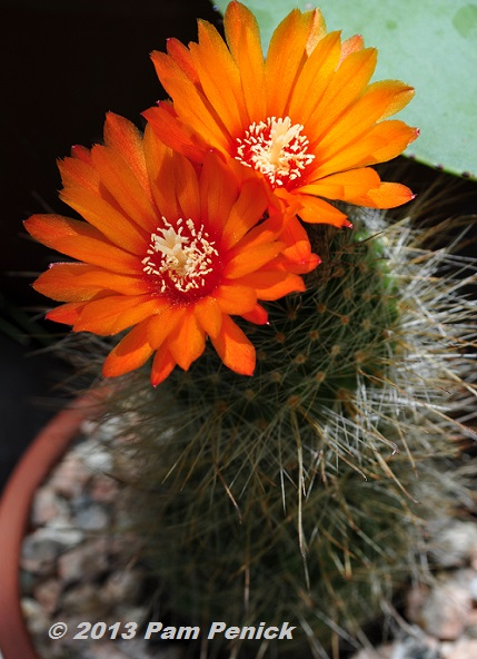 Jewel Like Cactus Flowers For Bloom Day