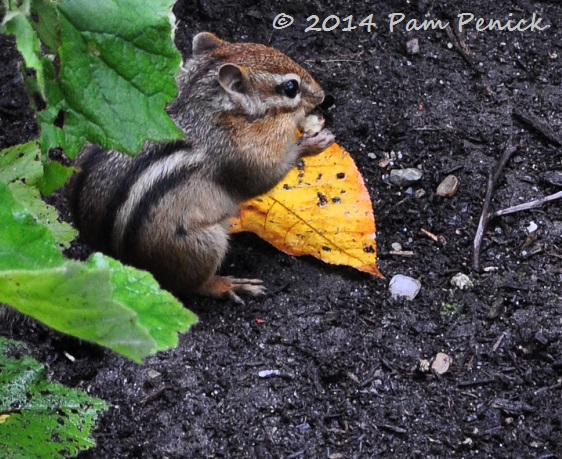 how to keep chipmunks from digging