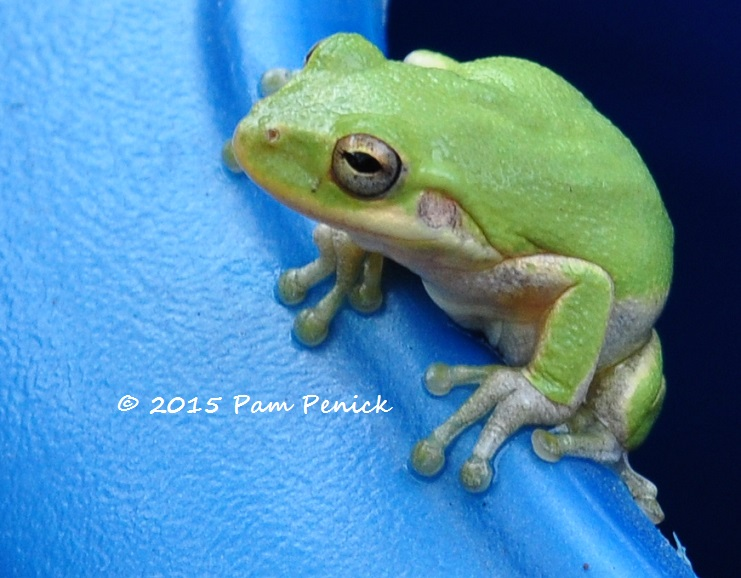 Surprise! A frog in the watering can | Digging