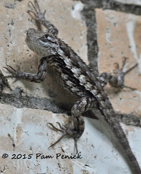 Lazing Texas Spiny Lizards Digging