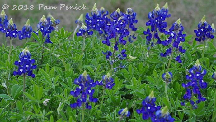 Bluebonnets buckeyes and more in bloom at wildflower center ahh texas bluebonnets theyre turning austins roadsides blue right now and early bonnets were in bloom last week at the lady bird johnson wildflower mightylinksfo