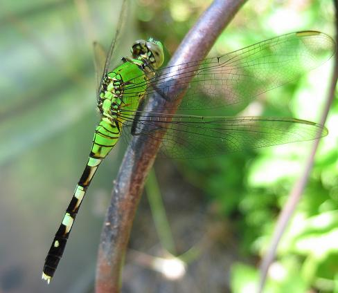Green dragonfly pictures - photo#3