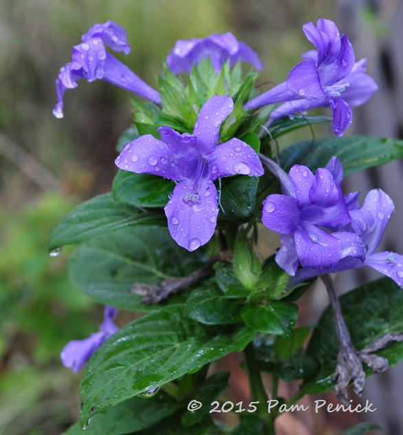 Plant This: Flipping For Philippine Violet