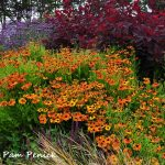 Smoke tree, tall verbena, and Helenium 'Mardi Gras' at Mendocino Coast Botanical Gardens in northern California