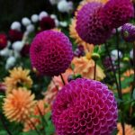 Dahlias at Mendocino Coast Botanical Gardens in Ft. Bragg, California