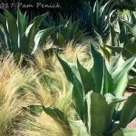Agaves and Mexican feathergrass at Cornerstone Sonoma Gardens in Sonoma, CA