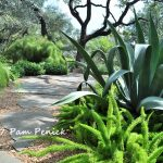 Agave, foxtail fern, bamboo muhly, and live oaks in the San Antonio garden of Linda Peterson