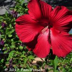 Red hibiscus in designer Diana Kirby's garden in Austin, Texas