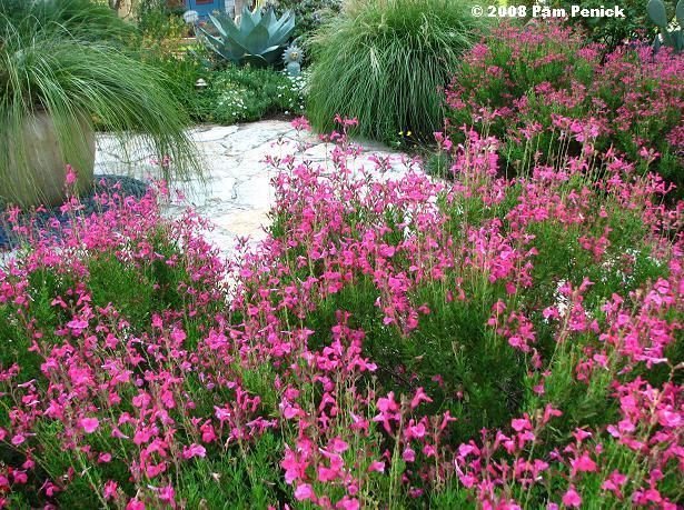 Exceptionnel Salvia Celebration