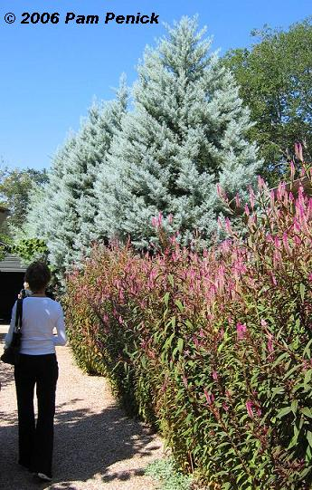 Arizona Cypress Cupressus Arizonica Is Not Native To The Austin Area But It Grows Well Here Provided Has Proper Drainage And Full Sun