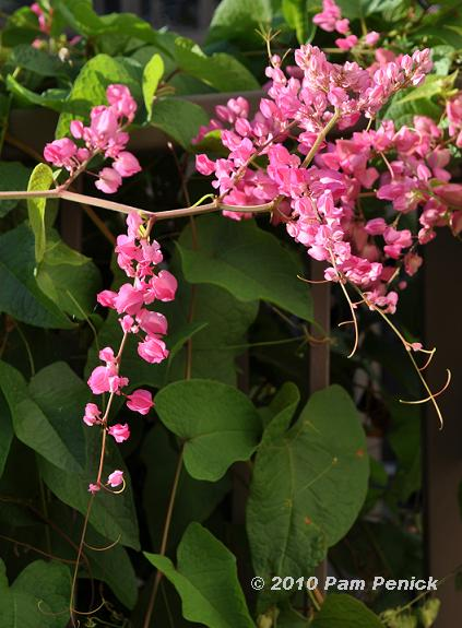 Vines archives page 67 of 87 digging its delicate tendrils of pink flowers not coral despite the name mightylinksfo