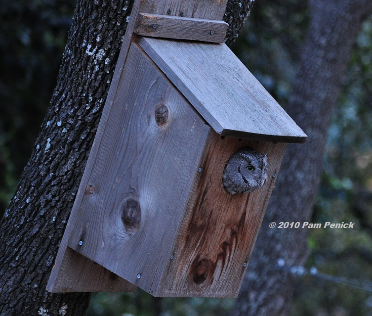 Screech owl in the house! - Digging on kanga house plans, owl sounds, paris house plans, mallard house plans, woodpecker house plans, bat box plans, bluebird house plans, snapdragon house plans, owl woodworking pattern, owl birdhouse, bat house plans, blue jay house plans, star house plans, t-14 martin house plans, owl home, angel house plans, bird house plans, owl habitat, hummingbird house plans, dove house plans,