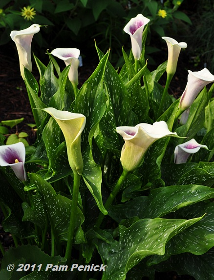 Calla Plant: Visit To Plant Delights Nursery: Hardy Tropicals & Pond