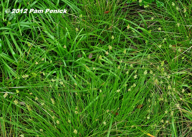 Plant This Texas sedge or Carex retroflexa Scotts Turf