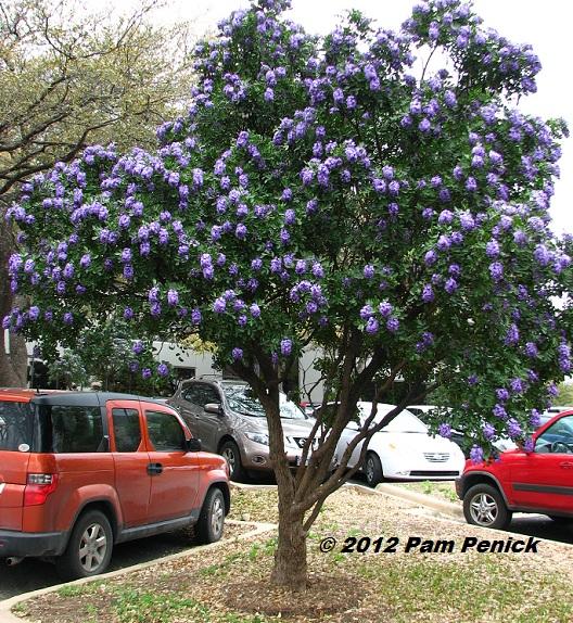 Best-smelling Tree In Texas: Sophora Secundiflora