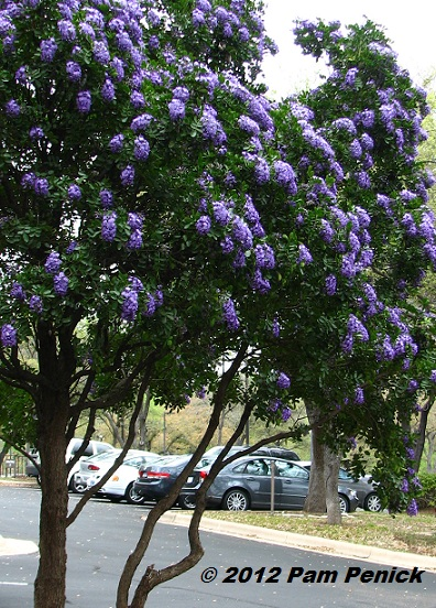 Best Smelling Tree In Texas Sophora Secundiflora Digging