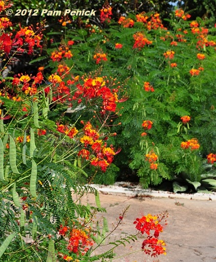 Hot Tropics Pride Of Barbados Palm Agave Combo Digging