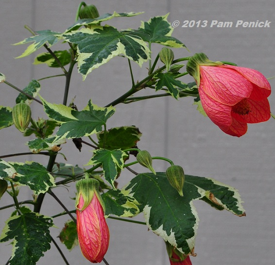 Long Thought Of Strictly As Houseplants North The Tropics Abutilons Popped Up Several Years Ago In Local Nurseries For Outdoor Plantings