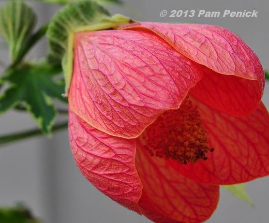 Plant this abutilon or flowering maple digging plant this abutilon or flowering maple mightylinksfo