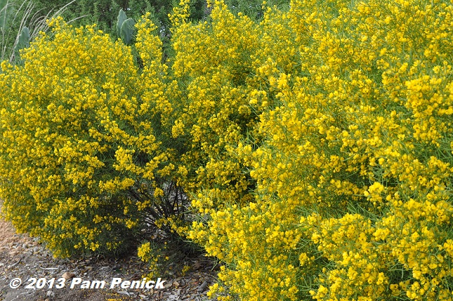 Yellow Flowering Desert Senna In San Antonio Digging