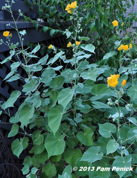 Plant This Indian Mallow Digging