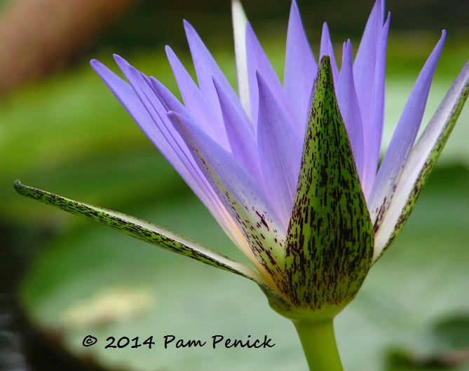 Water lily collection is hidden gem in West Texas town of San Angelo ...