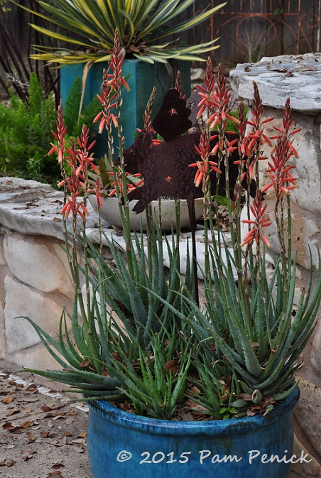 Spiderwort Blue Elf Aloe And Other Spring Blooms Digging