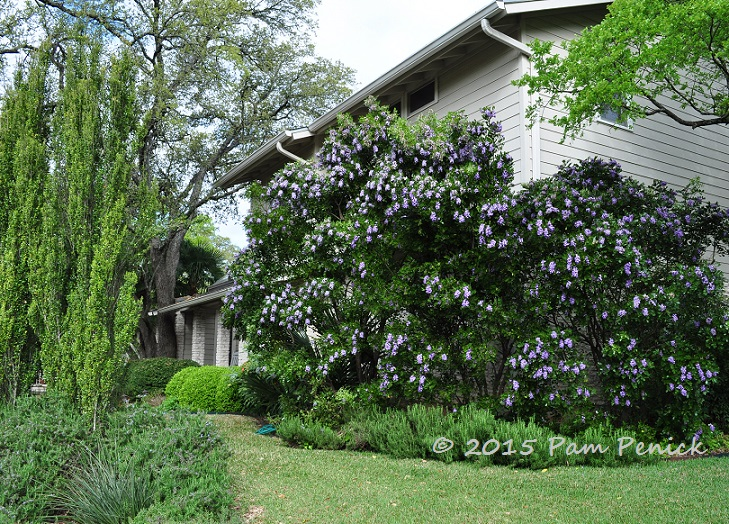 Drive By Gardens Grape Kool Aid Trees In Northwest Austin Digging