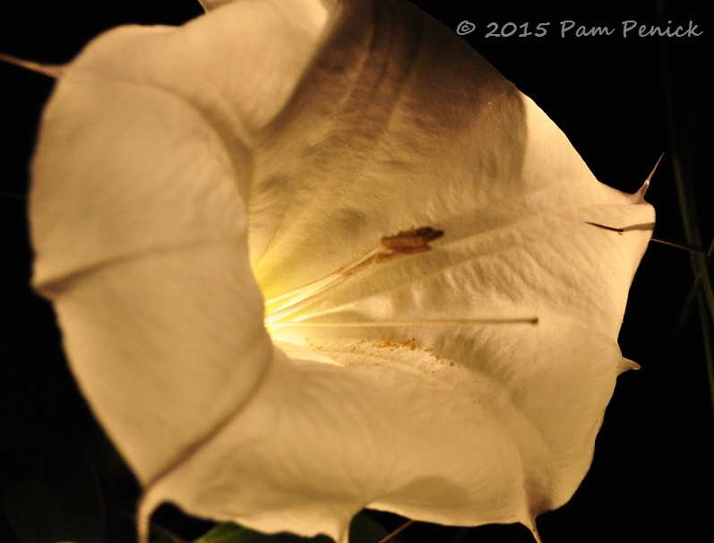 Night blooming datura glows in the moonlight garden digging sure enough two of the long balloon like buds id noticed earlier in the day had unfurled and large white flowers were glowing in the darkness mightylinksfo