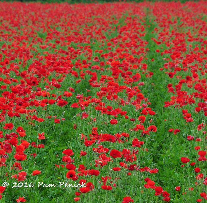 Crimson poppy fields at Wildseed Farms - Digging