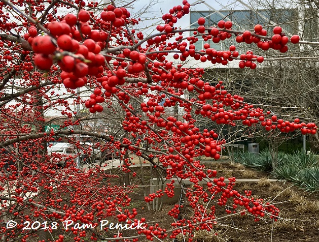 Possumhaw berries blazing at winter's end - Digging