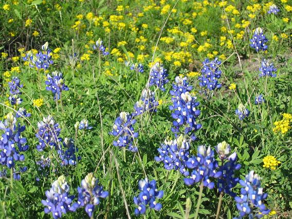 Hill Country wildflowers - Digging