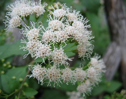Plant this white mistflower digging native texas plants says its usually about 1 to 2 feet tall though it can reach 3 feet however mine regularly grows to 3 or 4 feet tall and 3 feet wide mightylinksfo
