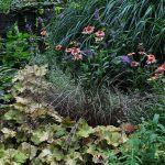 Peach heuchera and purple coneflower in the Bethesda, Maryland, garden of Barbara Katz
