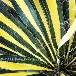 Grassy scrims and yucca color for Foliage Follow-Up