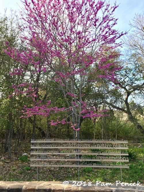 Flowering trees and athena the owl at the wildflower center digging texas redbuds cercis canadensis var texensis were at peak bloom too this hot pink beauty stands tall and slender behind a sign bearing a quote by lady mightylinksfo